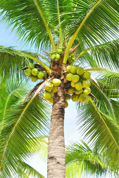 coconut tree uses in st